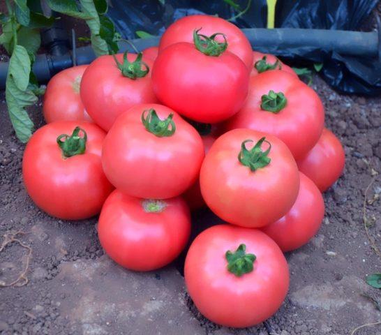 свежие томаты на зиму